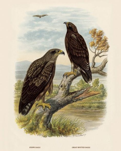 Fine Art Print of the Steppe Eagle and Greater Spotted Eagle by O V Riesenthal (1876)